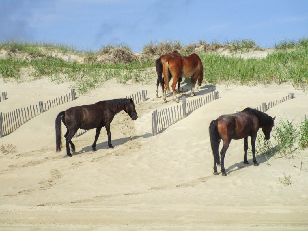 Horses on Outer Banks with kids